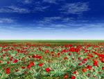 草原上的红色花朵