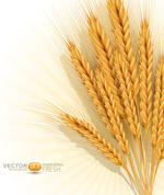 金色麦穗矢量