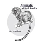 手绘南美洲狮面狨