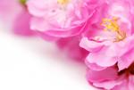 盛开的桃花背景
