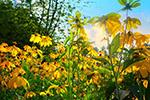 黄色盛开花丛
