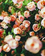 玫瑰花丛模型