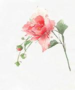 水彩插画玫瑰