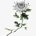 水墨白色菊花
