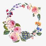 水彩手绘粉玫瑰