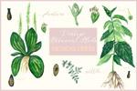 医学植物学插画