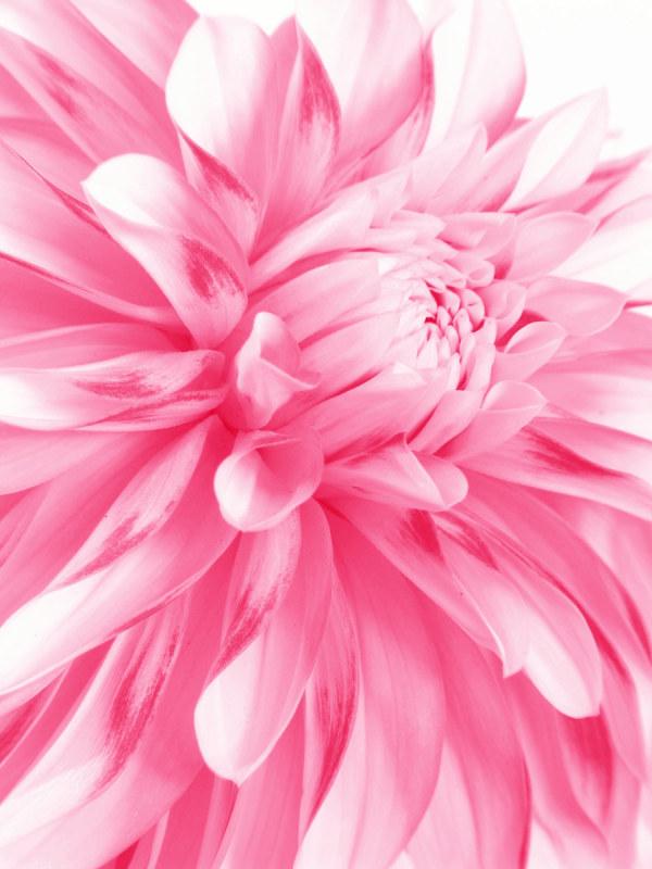粉红色花朵特写