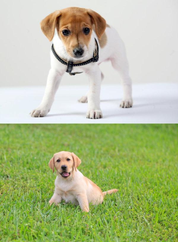 小狗狗高清图片,哈巴狗,可爱,毛茸茸,狗狗,狗,毛,,动物草地,尾巴,爪子