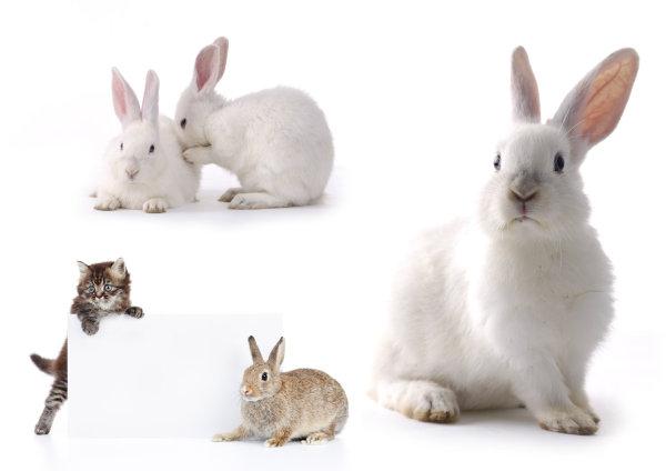 小白兔_家禽家畜 - 素材中国