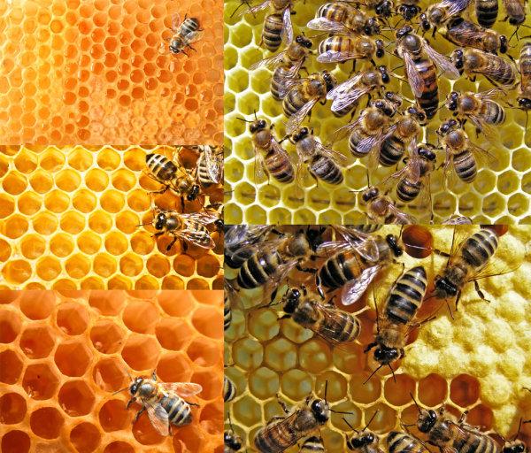 蜜蜂与蜂巢