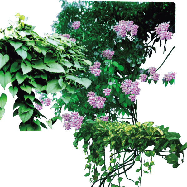 藤类植物psd3