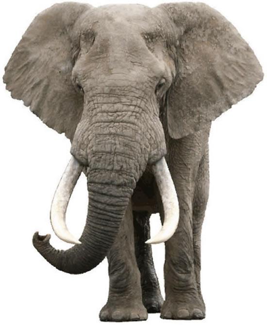 公�_非洲公象矢量