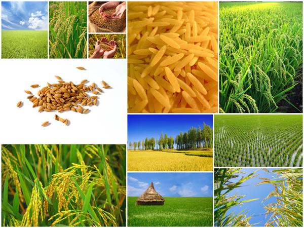 稻谷农作物