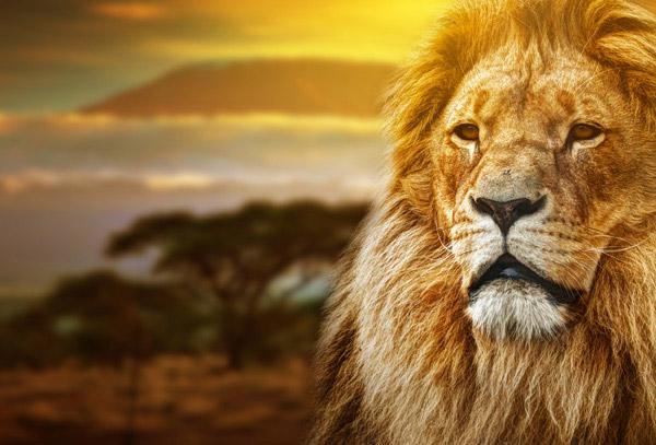 注视远方的狮子