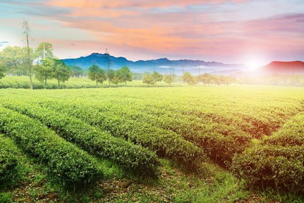 茶园升起的太阳