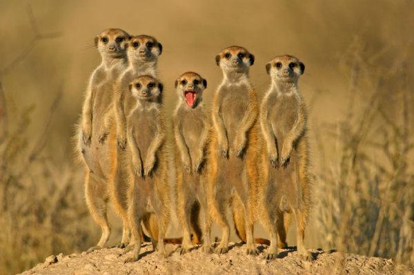 素材分类: 野生动物所需点数: 0 点 关键词: 动物,野生动物,獴,海岛