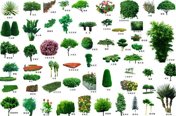 景观植物柳树手绘