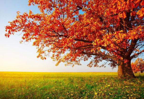 素材分类: 自然风景所需点数: 0 点 关键词: 美丽的枫树高清图片
