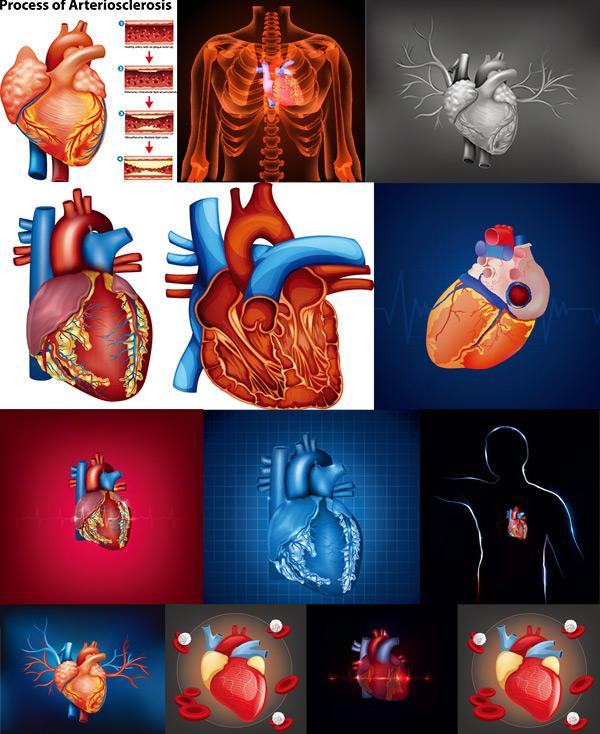 0 点 关键词: 人体心脏器官设计矢量素材,心脏,人体器官,结构图,名称