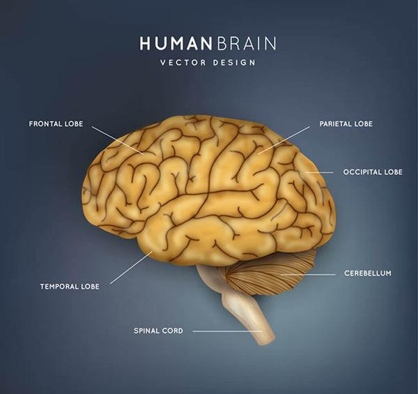 大脑结构图矢量