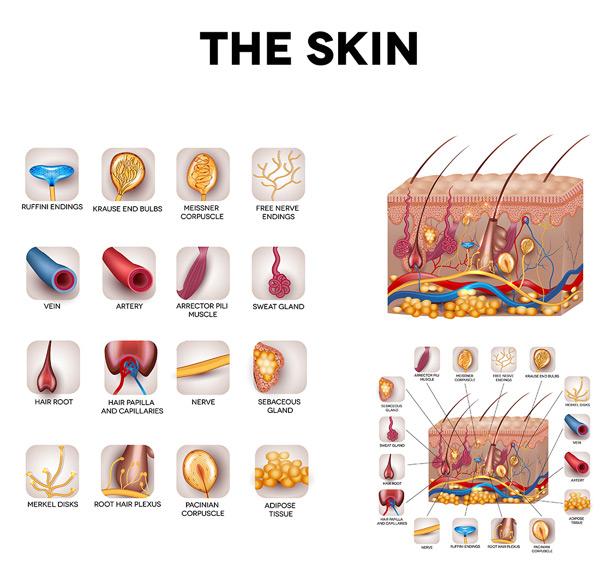 皮肤组织和结构