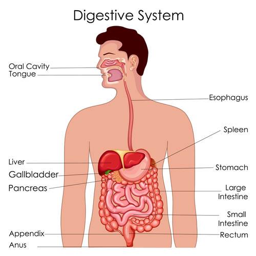消化系统解剖图