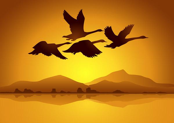 天鹅与日落背景