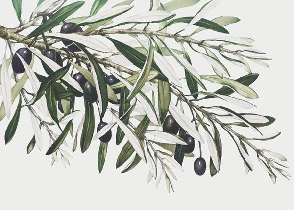 矢量橄榄枝