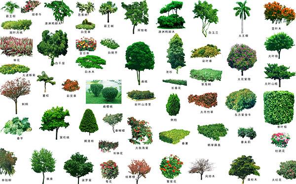 景观乔木丛手绘