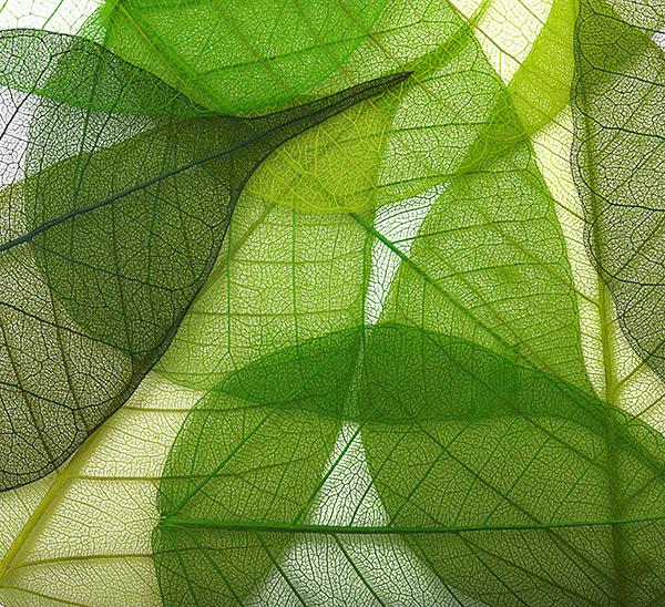 透明树叶叶茎背景