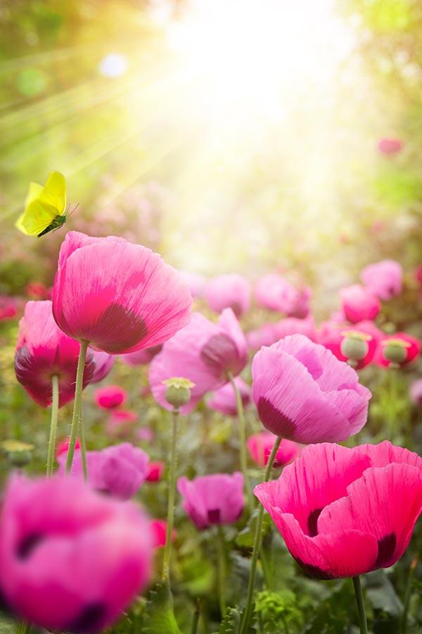 阳光下的罂粟花