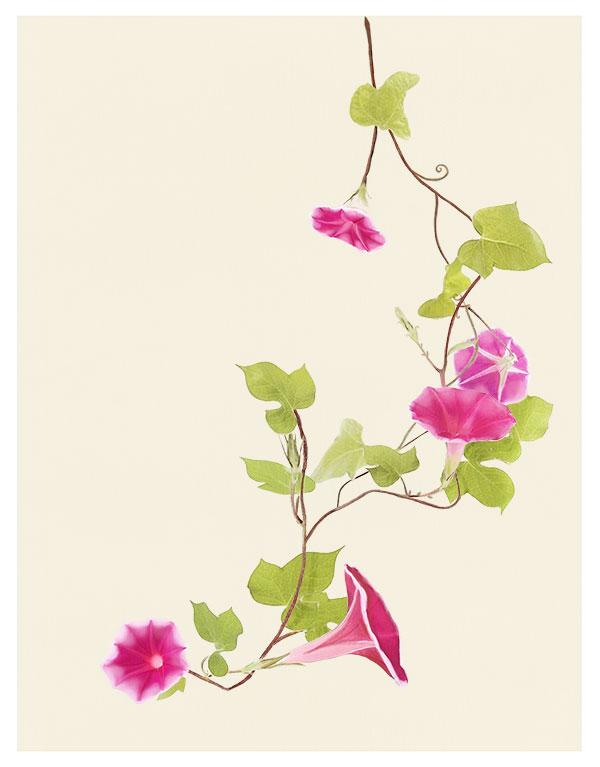 粉红色牵牛花