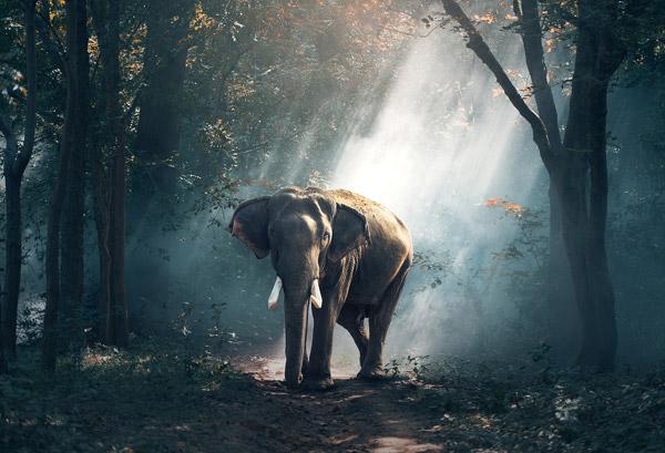 树林里的大象