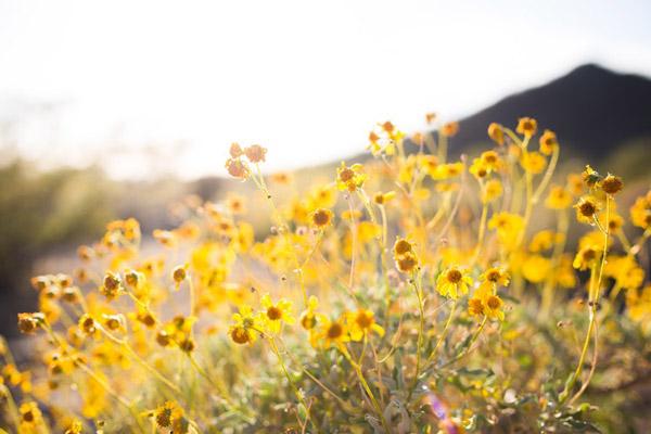 黄色野花图片