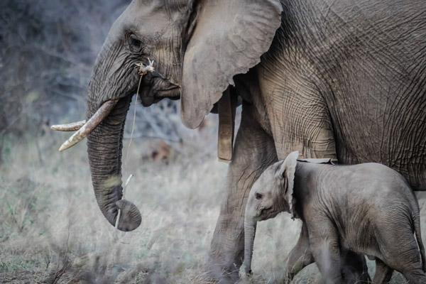 荒野大象小象