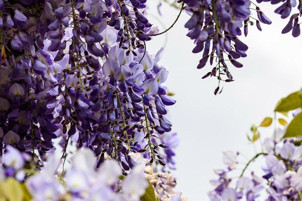 紫色禾雀花