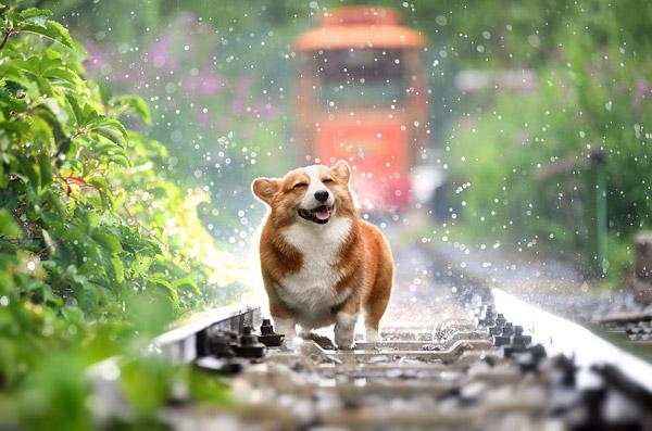 可爱柯基犬