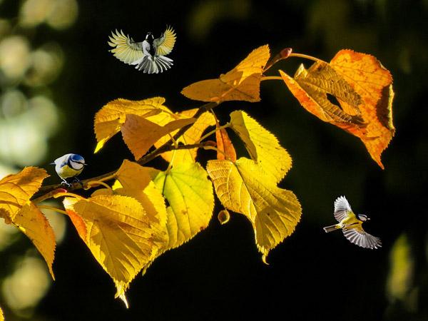秋天树叶小鸟