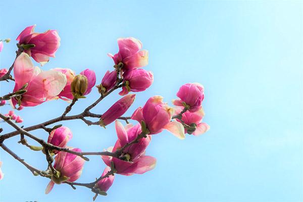 望春花图片