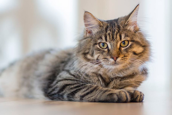 毛茸茸的虎斑猫