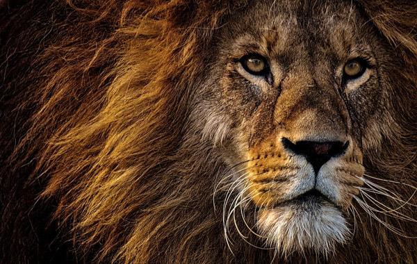 狮子头特写