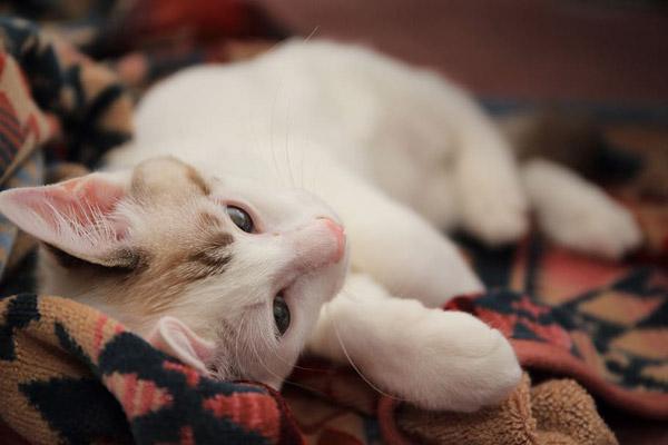 白色宠物猫