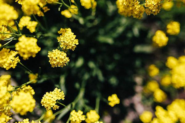 盛开的小黄花