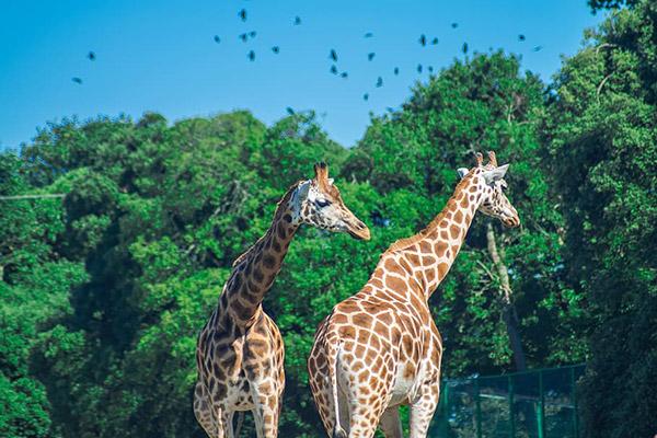 动物园长颈鹿