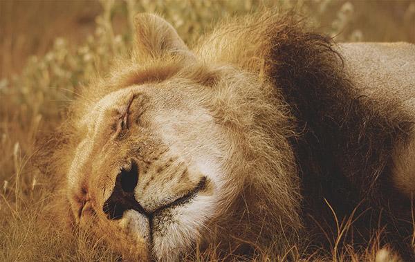 熟睡的狮子