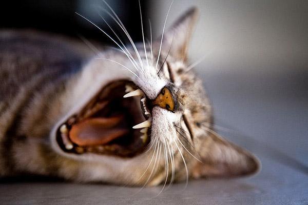 打哈欠的猫