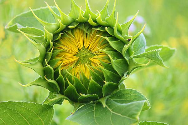 向日葵花苞