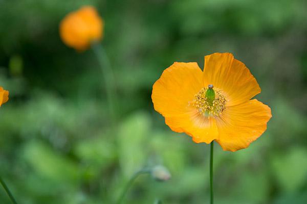 黄色的罂粟花