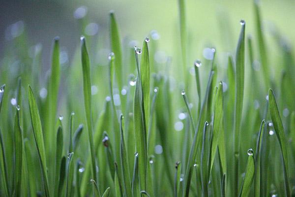 绿色小麦草