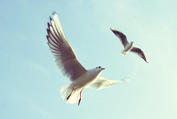 飞翔的海鸥